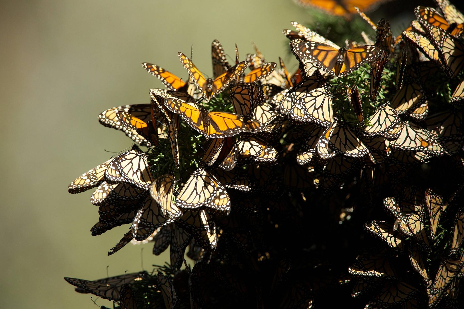 Santuario de la Mariposa Monarca podría cerrar por Coronavirus