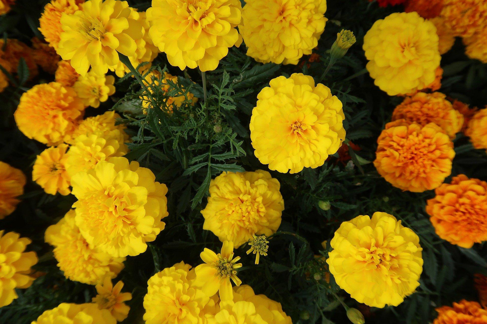 Flores de cempasúchil no se venden por crisis