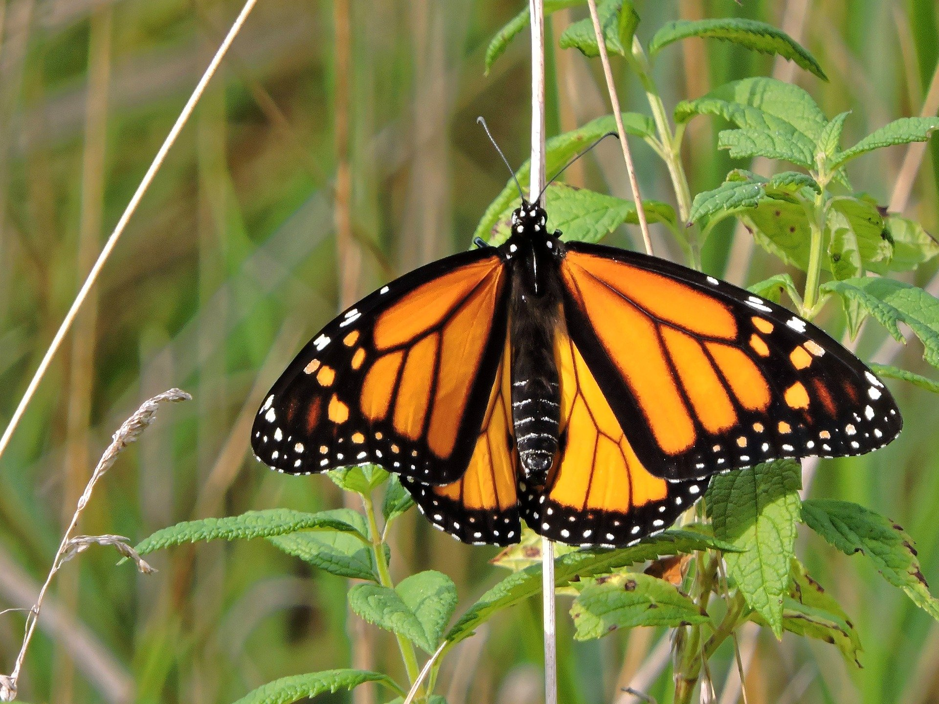 Santuarios de mariposas Monarca abrirán al 50% de su capacidad