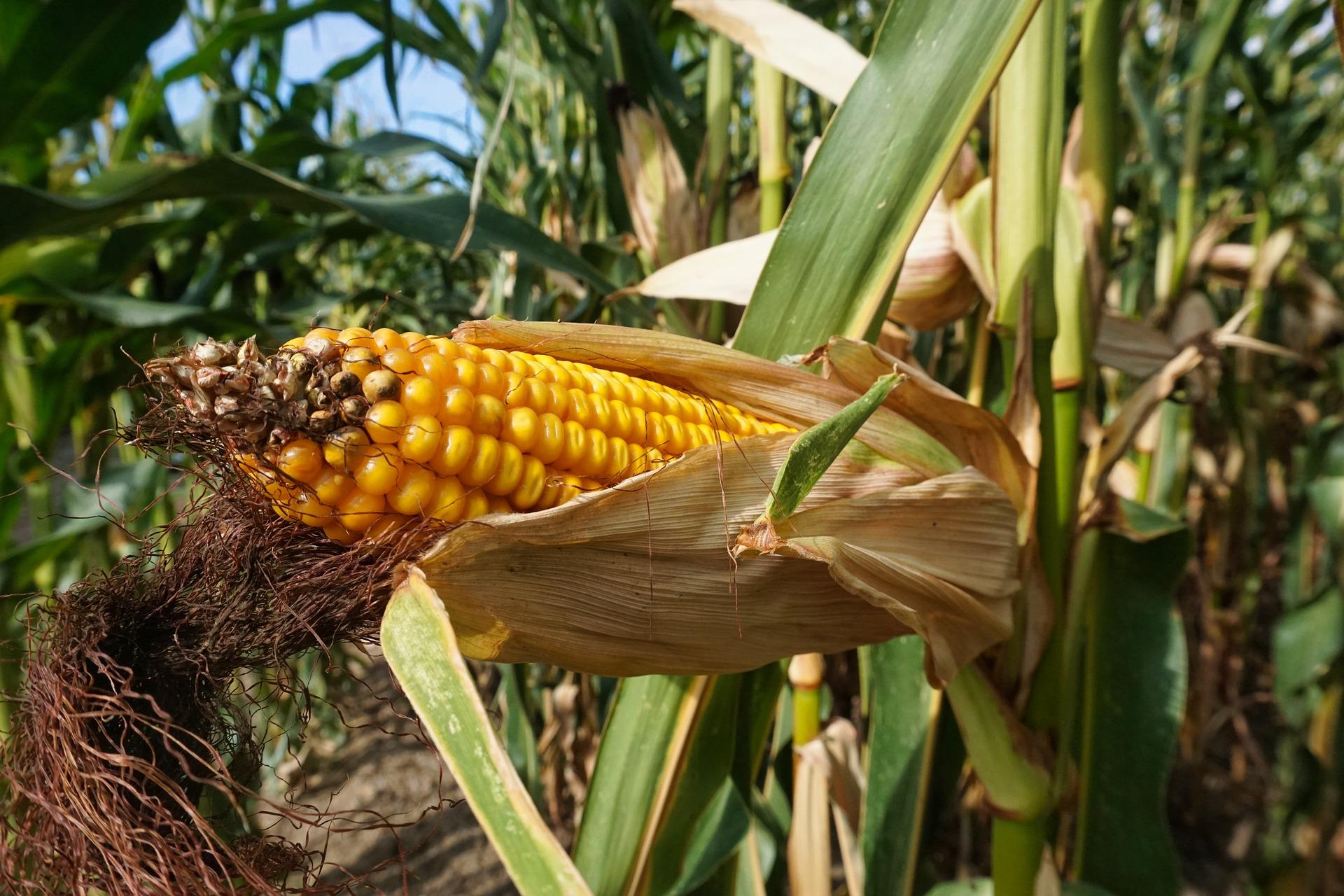 Impulsan producción nacional de maíz amarillo