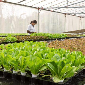 Producción y exportación de lechuga mexicana crece 4.5%