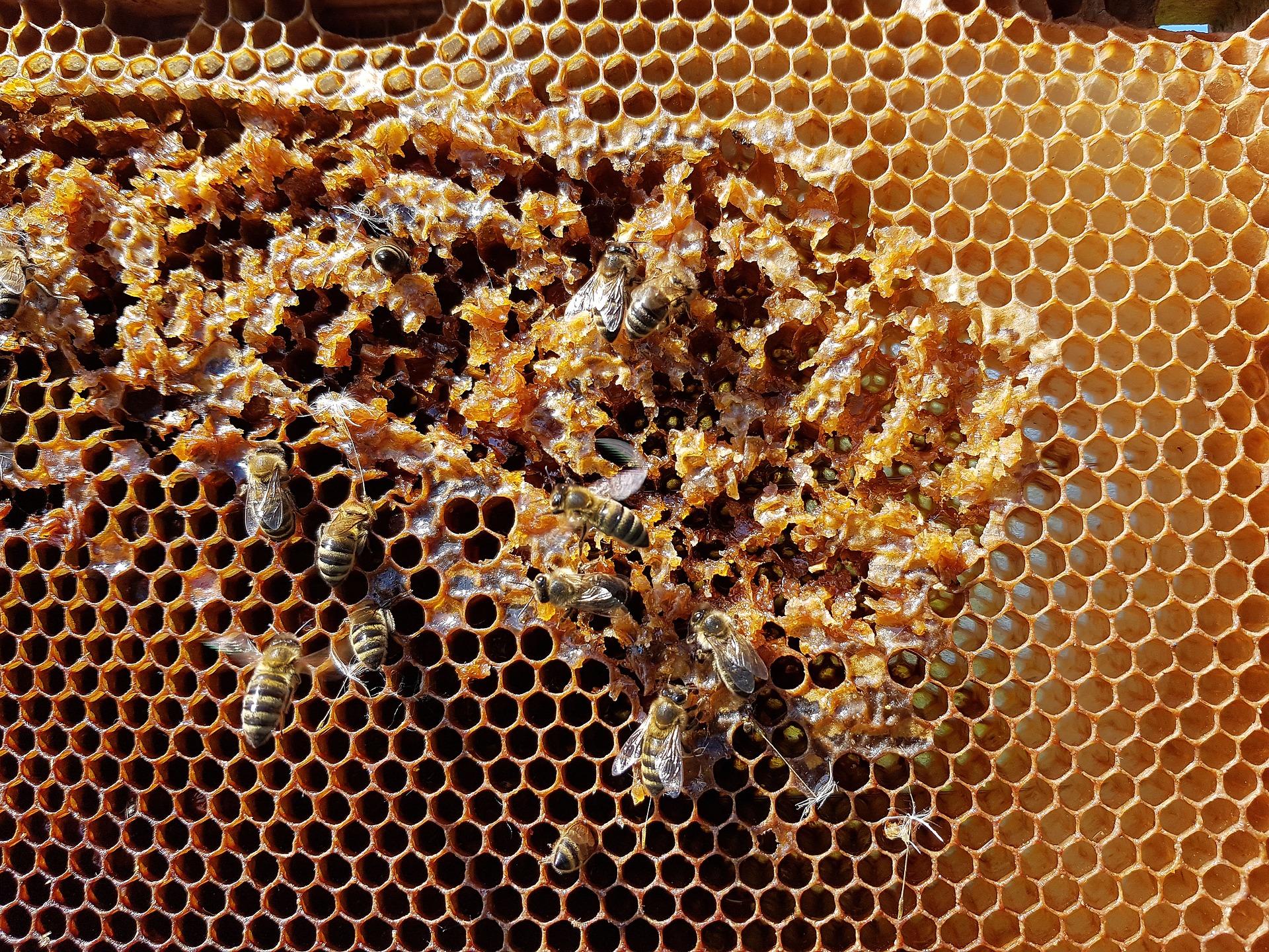 Estiman crecimiento de 22.4% en producción de miel