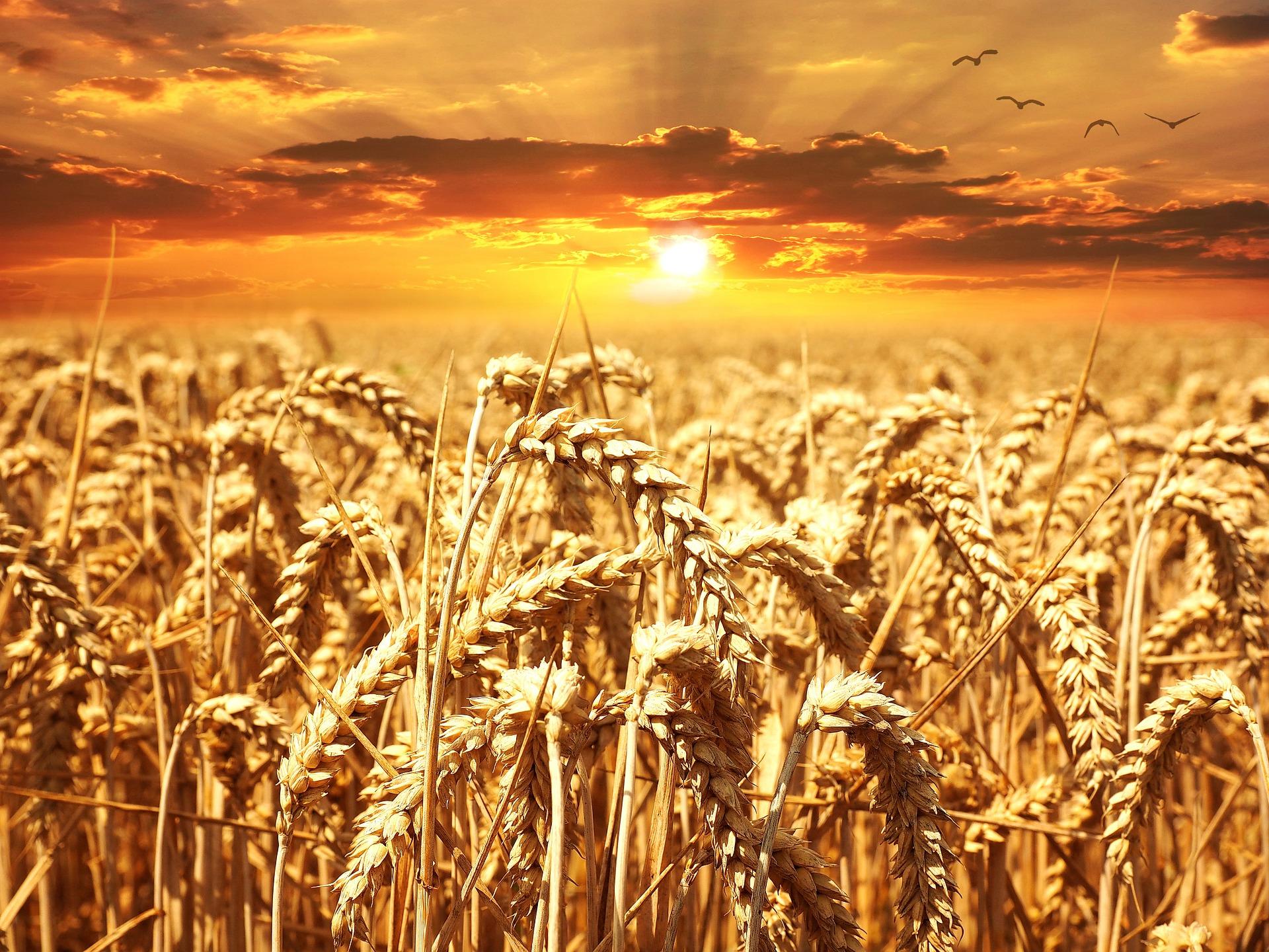 Producción de trigo crecerá 10%